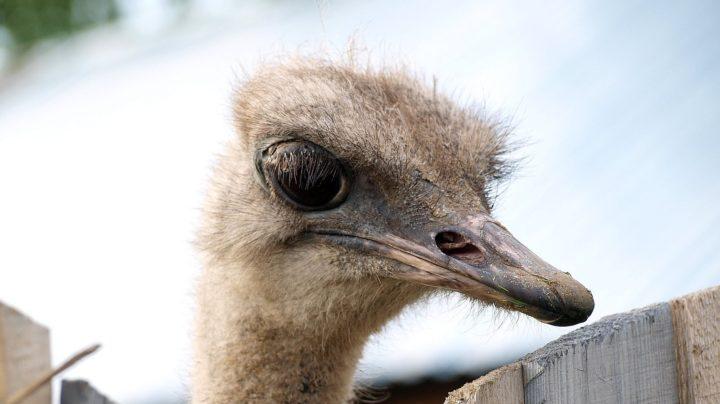 Ласточки и страусы северо-востока Кировской области