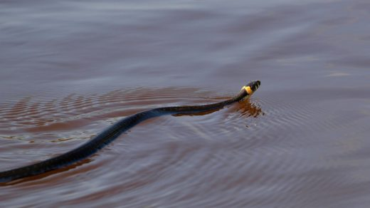Половодье 2012: плывущий ужик