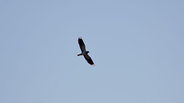 Половодье 2013: заплыв №4 - чибисы, коршун и утки