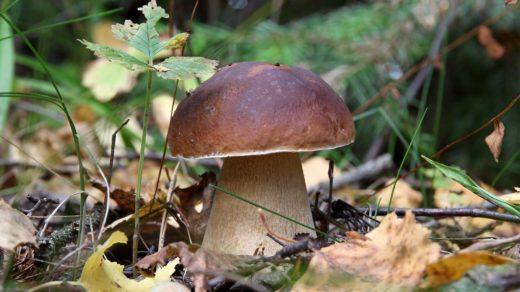 Портрет белого гриба