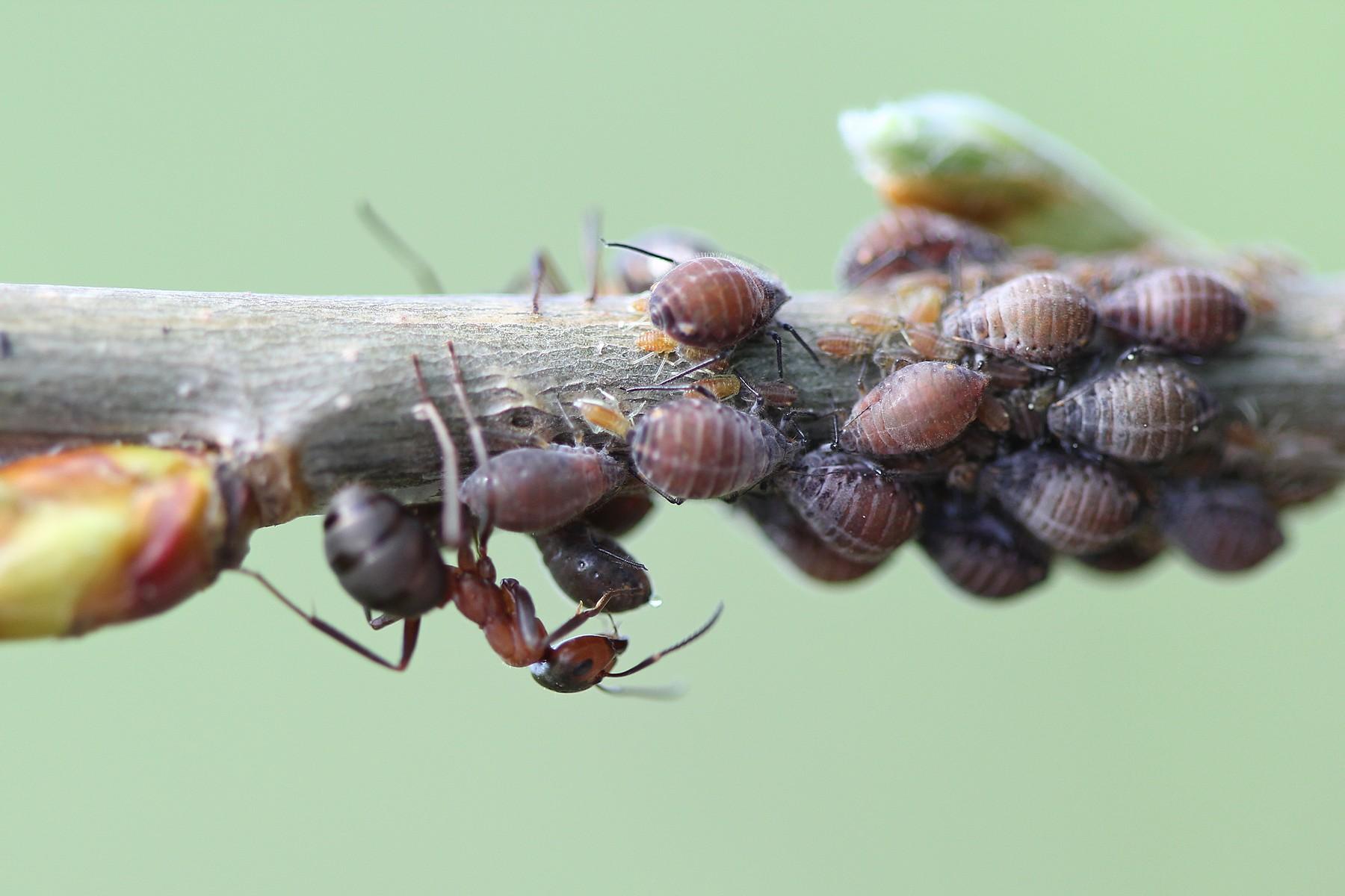 Вечерняя дойка на муравьиной ферме