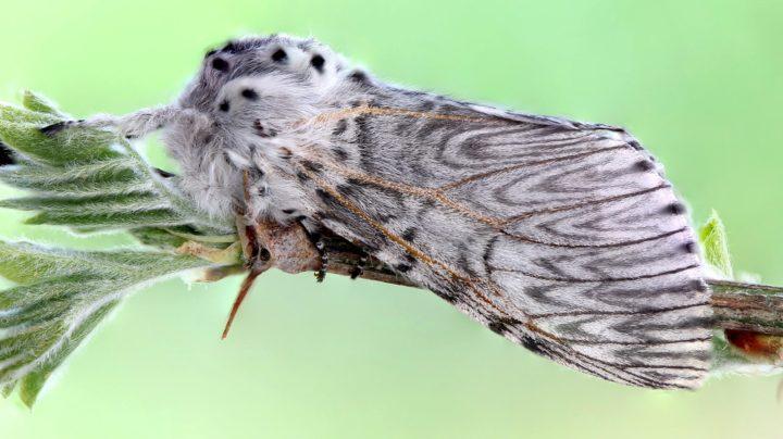 Дама в горностаевом манто - бабочка большой гарпии
