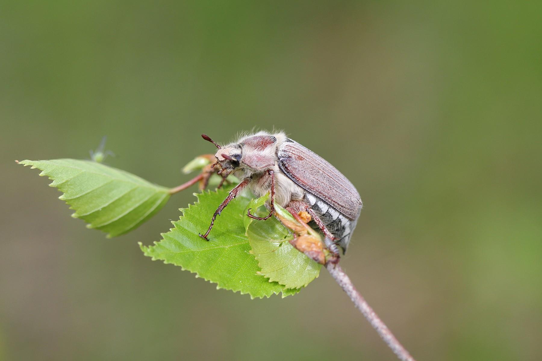 Майский жук на берёзовом листке