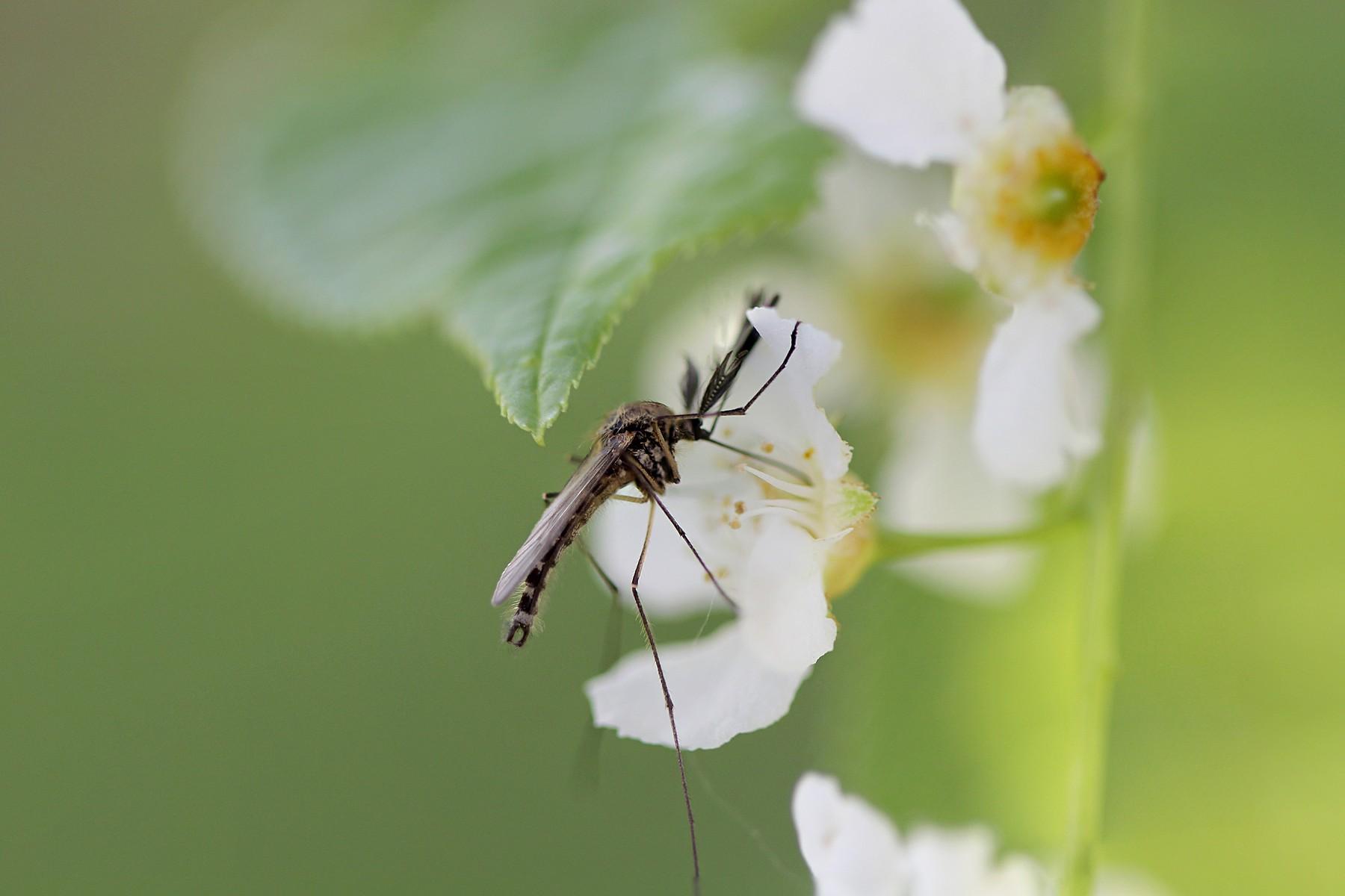 Чем питаются самцы комаров? Как их отличить от самок?