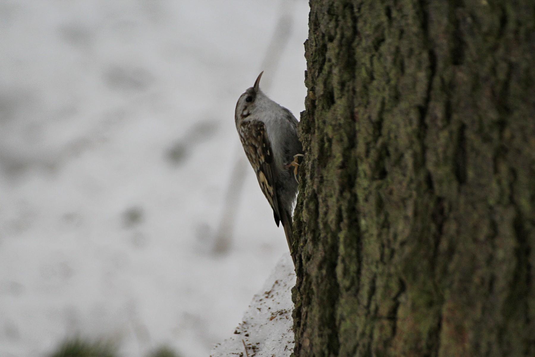 Пищуха обыкновенная и другие лесные птицы