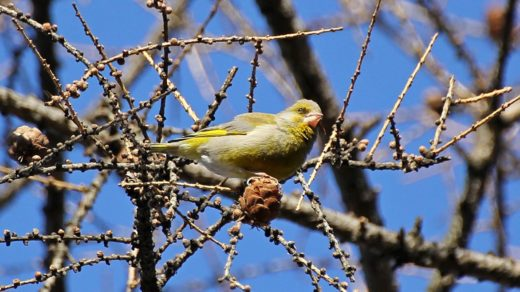 Зеленушка, щегол, зяблик и свиристель: птицы в парках весной