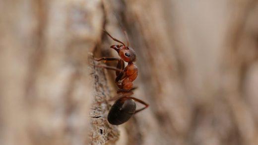 Как муравьи общаются при поиске пищи