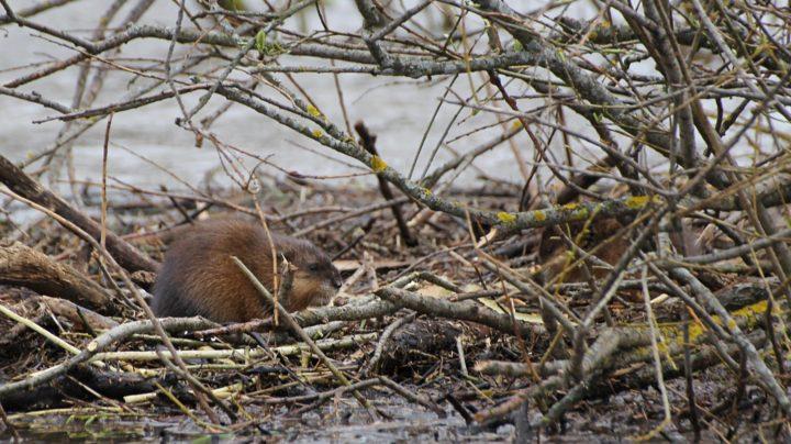Половодье 2014: ондатры, а не бобрята