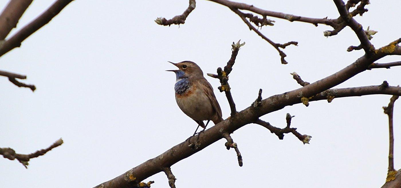 Садовые птицы: варакушка и вертишейка