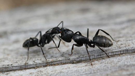 Рабочий муравей кормит муравья-солдата