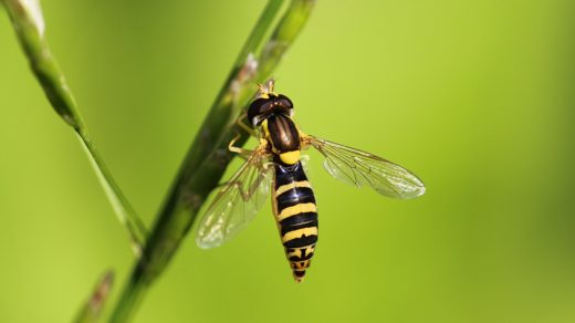 Еще одна муха-журчалка