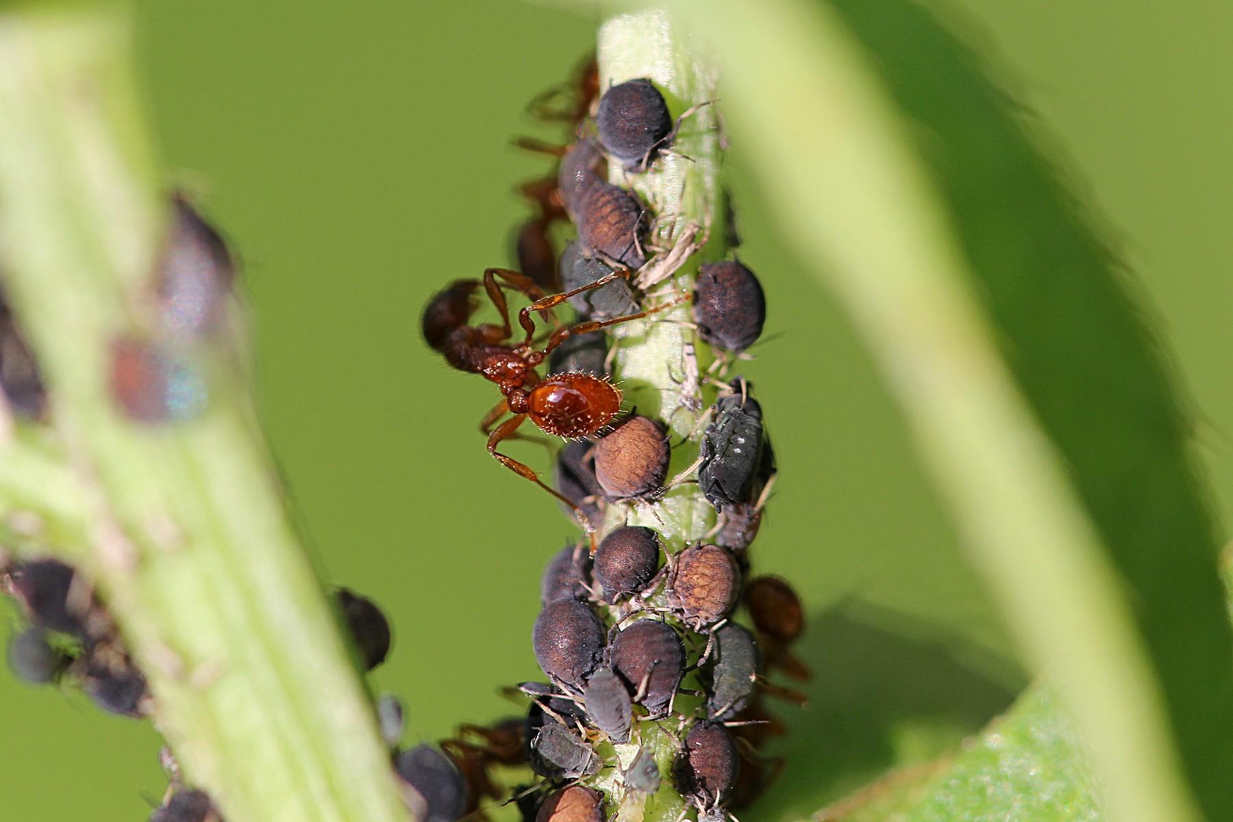 Пастухи муравьиного пастбища