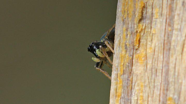 Глазастый паук-скакунчик
