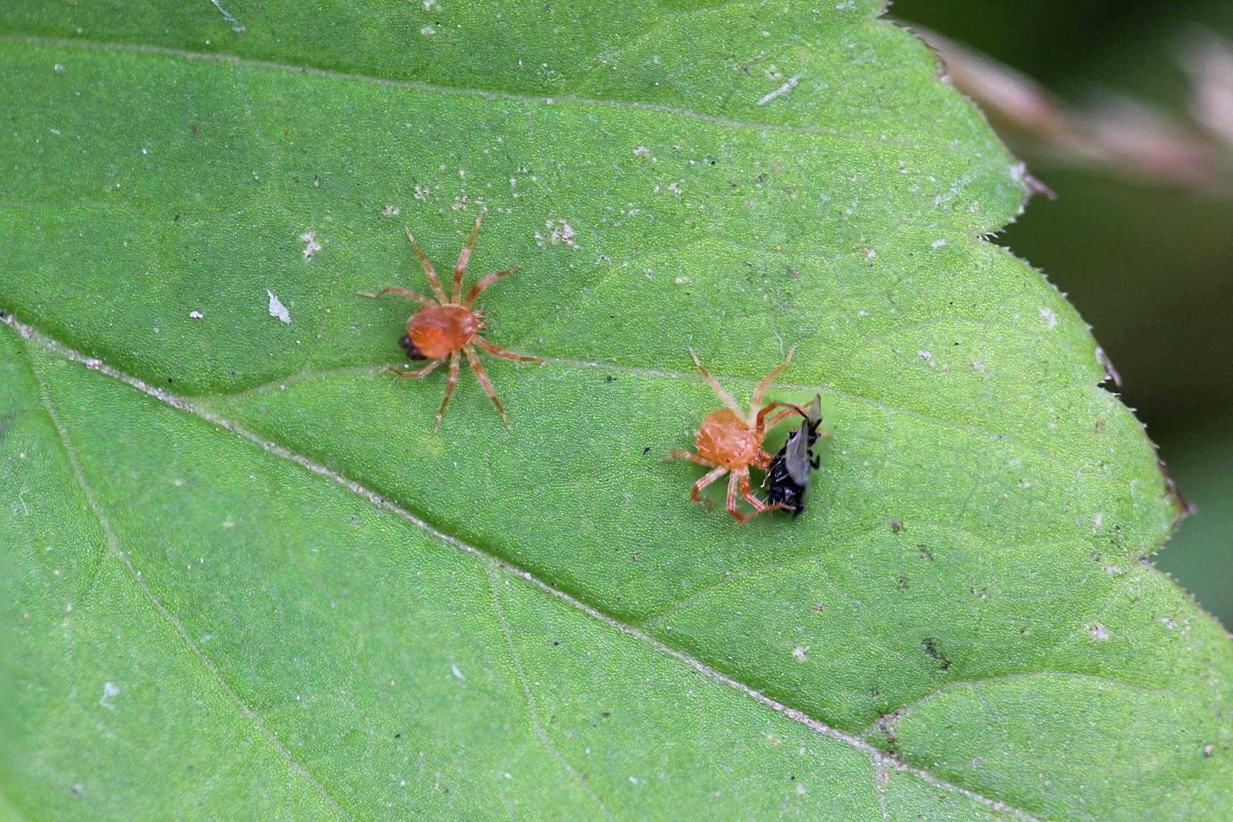 Два красных паучка (а может клещика)