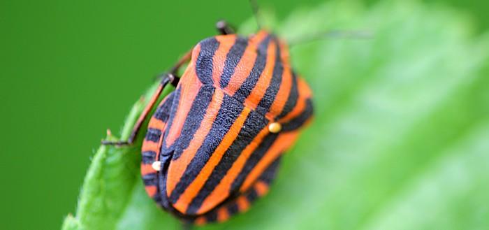 Красно-чёрный полосатый клоп щитник линейчатый или графозома полосатая