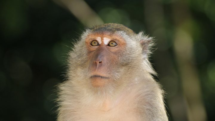 Длиннохвостые макаки обезьяньей тропы