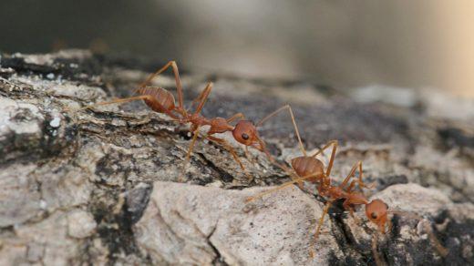 Тайские длинноногие муравьи