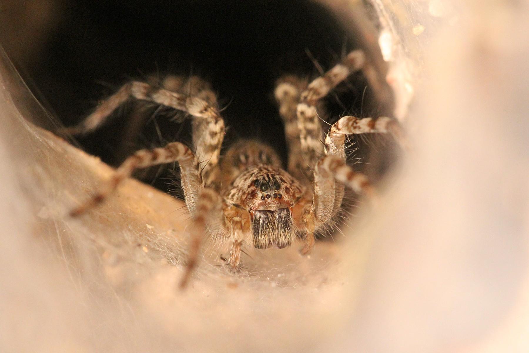 Воронковый паук на пороге своей норки