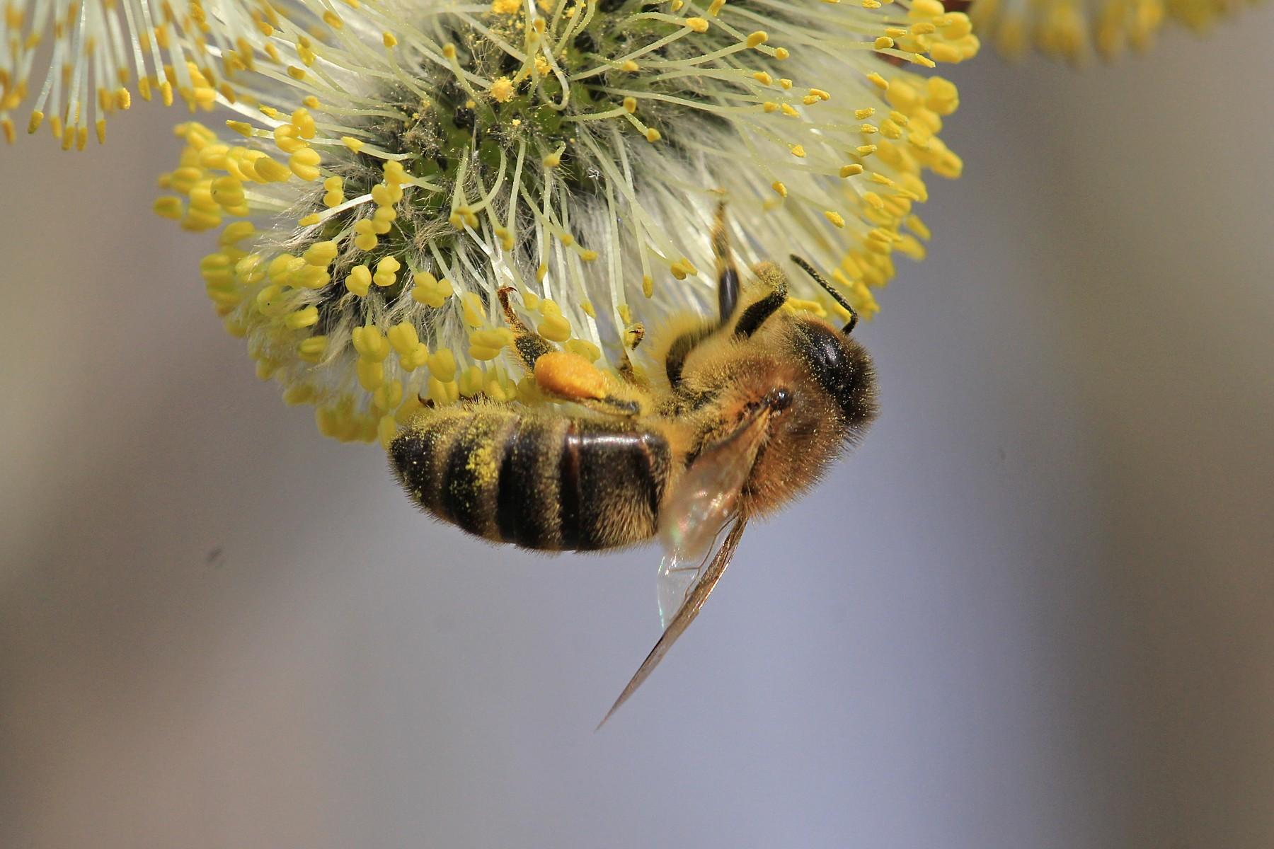 Как пчёлы собирают ивовый нектар