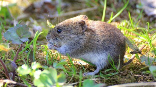 Смелый мышонок и вкусный листик лютика
