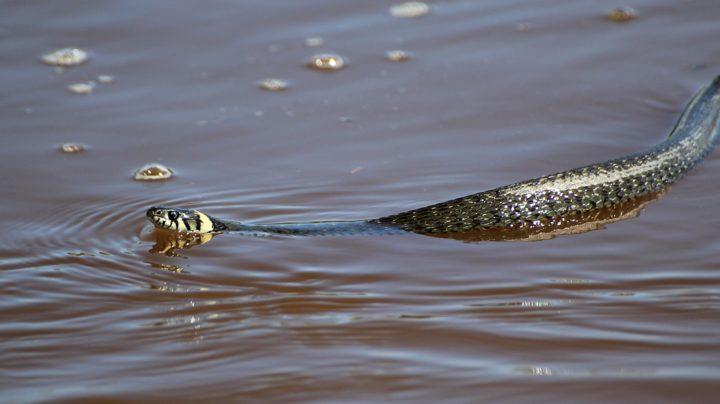 Умеют ли змеи плавать?