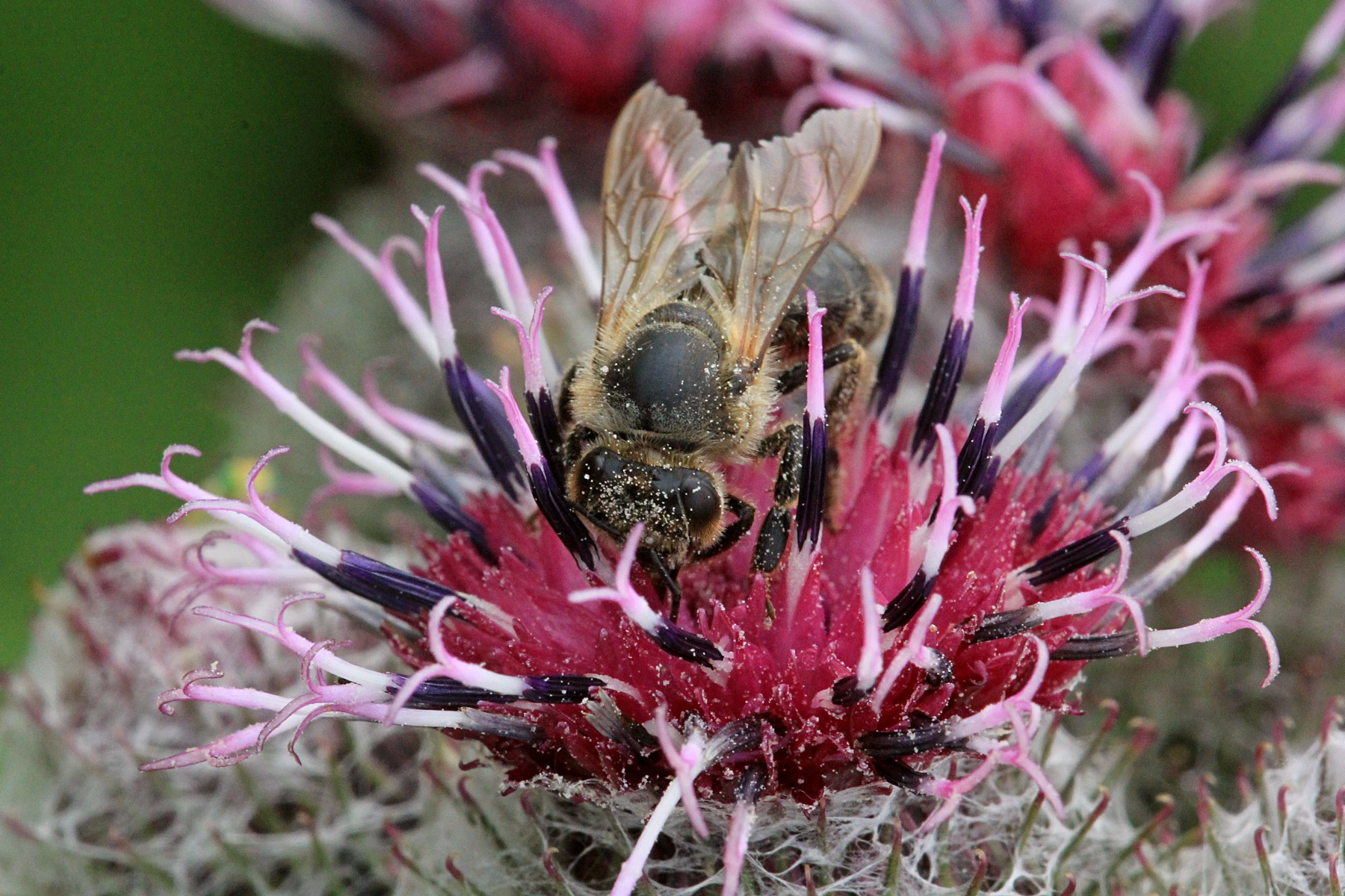 Лопуховый мёд, муравьиное стадо и прочие насекомыши
