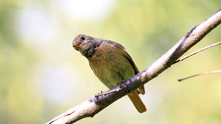 Горихвостка - небольшая птичка с рыжим хвостом