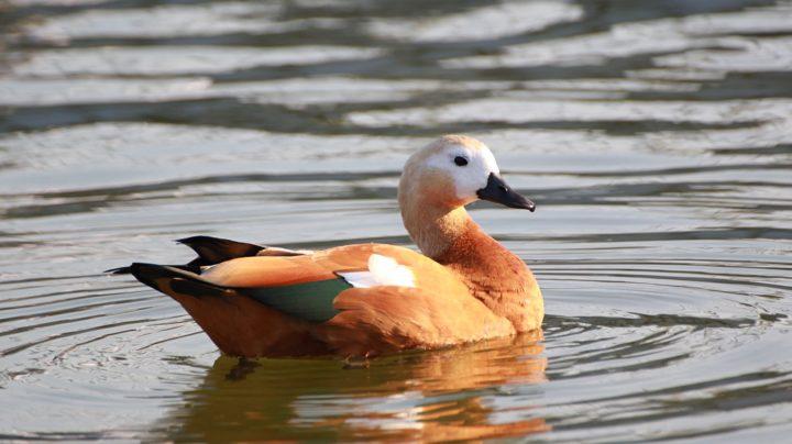 Огарь: рыжая утка с почти гусиным профилем