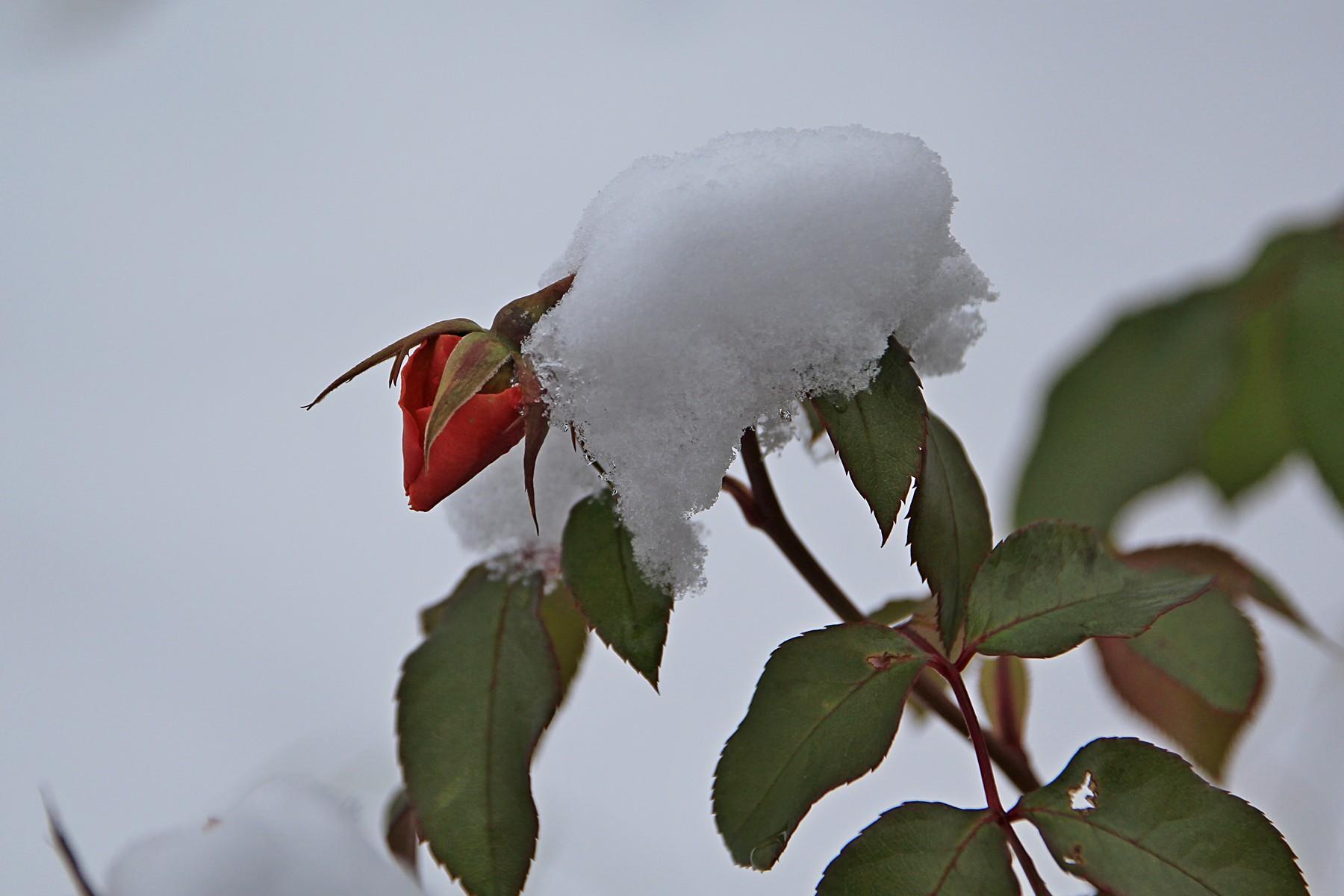 Бутон розы на кусте, засыпанный первым снегом
