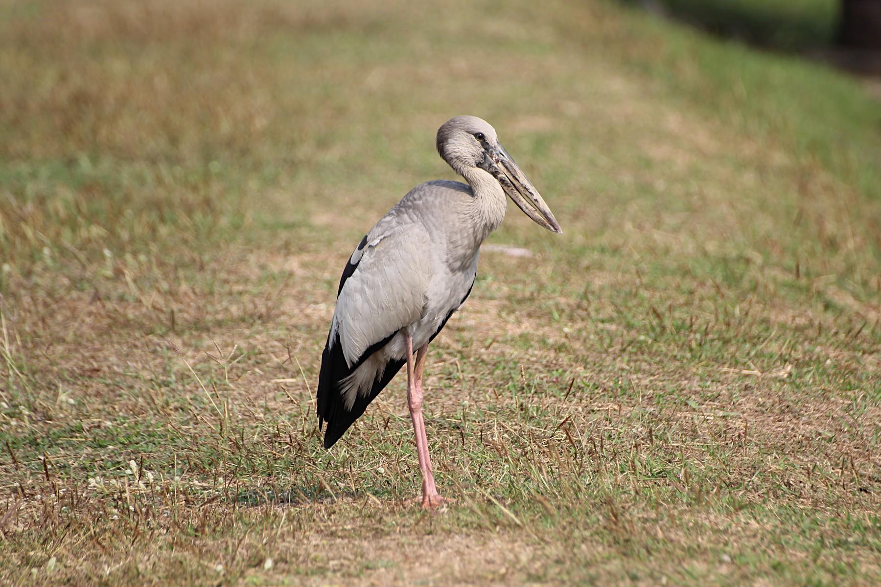 Индийский аист-разиня (лат. Anastomus oscitans)