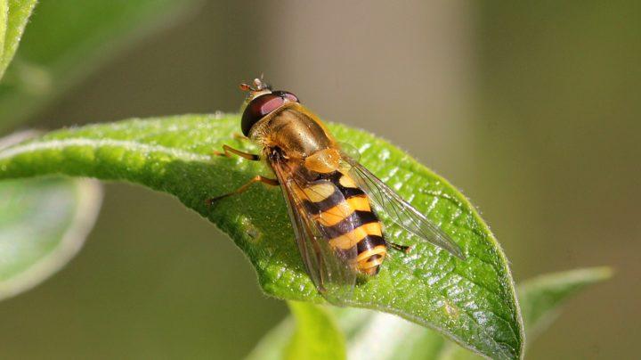 Муха-журчалка (Syrphidae) из рода Дидеа (лат. Didea) подсемейства Syrphinae