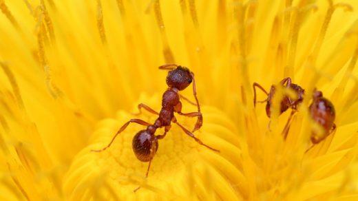 Одуванчиковый нектар и муравьи