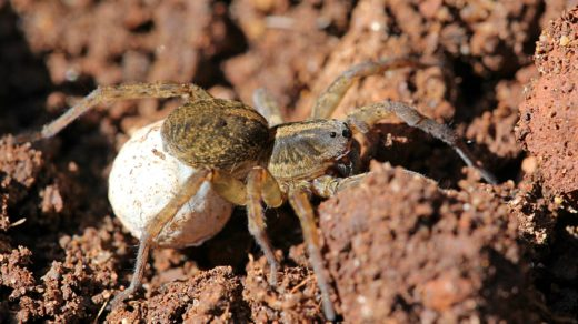 Самка паука-волка (Lycosidae) с коконом