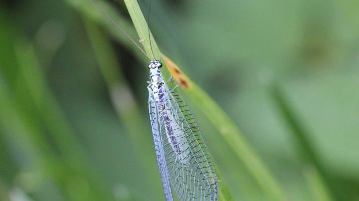 Златоглазка перламутровая (лат. Chrysopa perla)