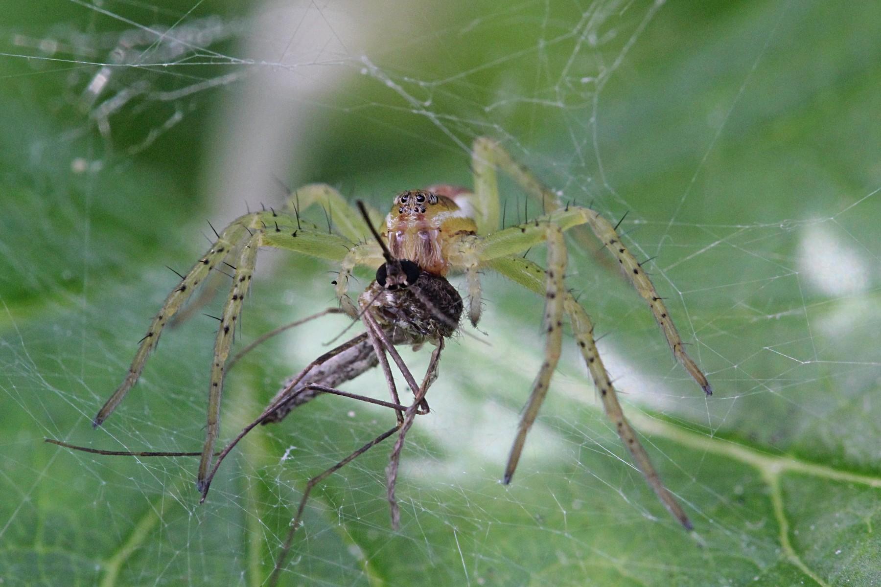 Как паук комара съел (видео)