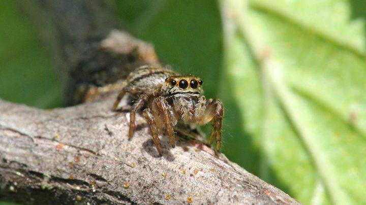 Эмоции глазастого паука-скакунчика