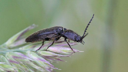 Щелкун волосатый (лат. Hemicrepidius hirtus)