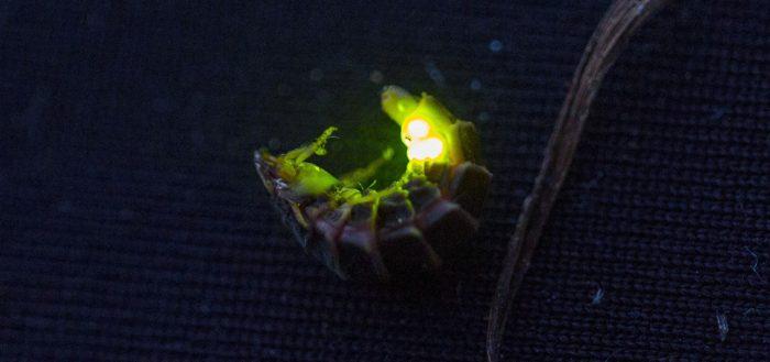 Обыкновенный светляк (лат. Lampyris noctiluca)