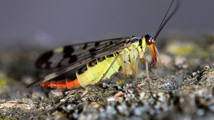 Скорпионница обыкновенная (лат. Panorpa communis), самка