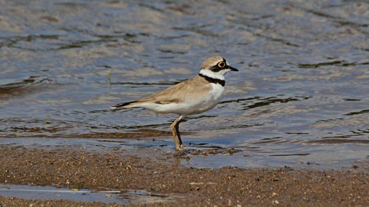 Малый зуёк - куличок песчаных речных пляжей