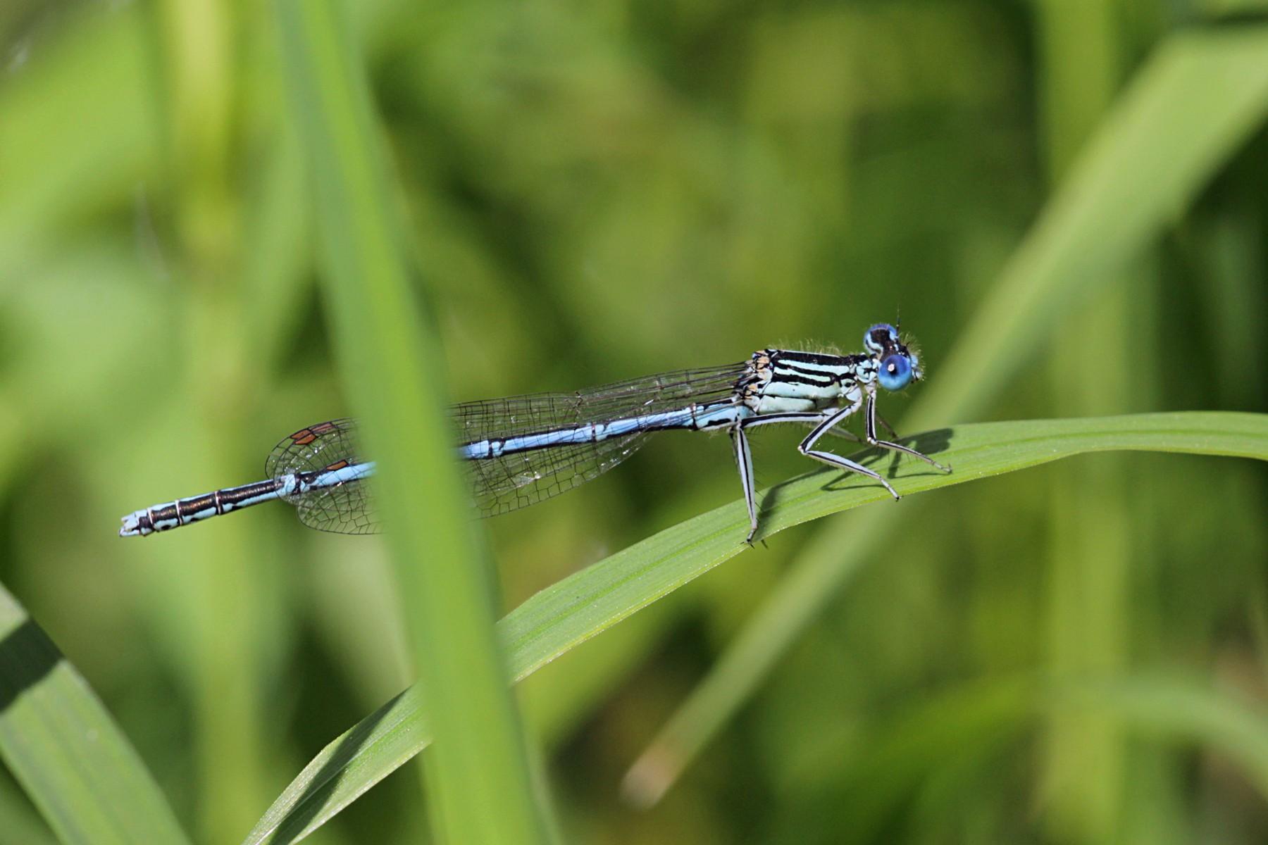 Стрекоза стрелка-девушка (Coenagrion puella), самец