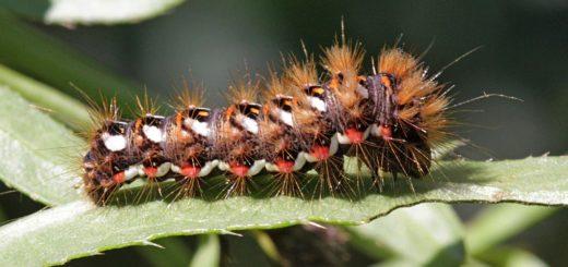 Гусеница щавелевой совки (стрельчатки, Acronicta rumicis)