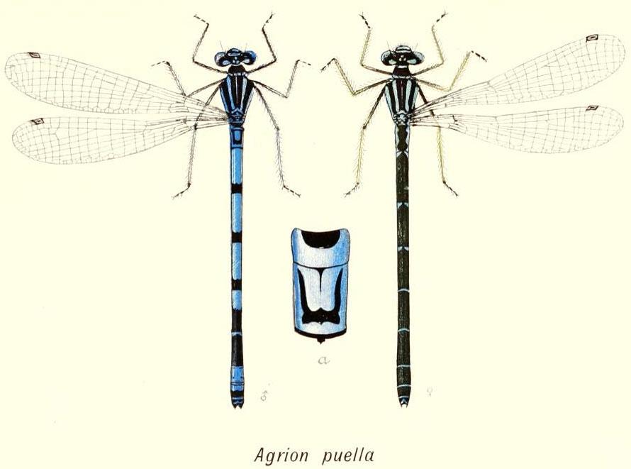 отличительные признаки стрекозы стрелки-девушки Coenagrion puella
