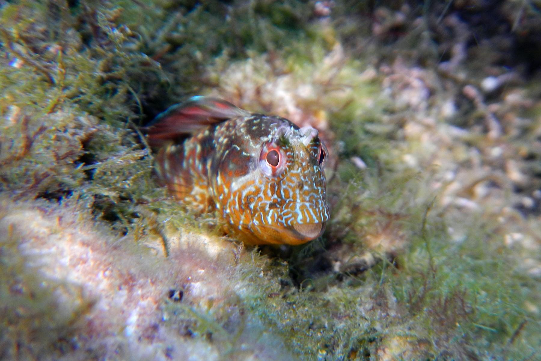 Морская собачка-сфинкс на пороге своей норки