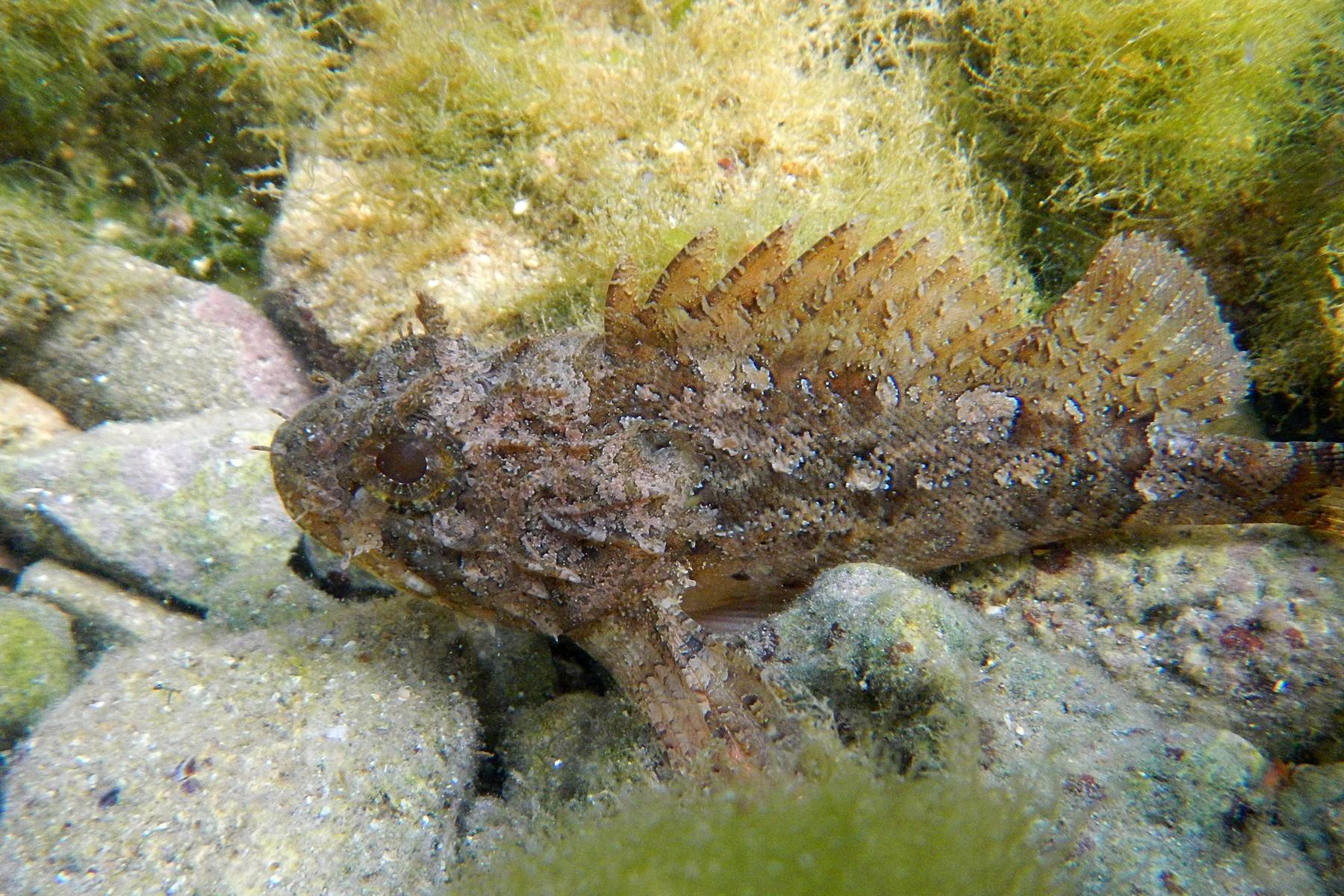 Морской ёрш, или черноморская скорпена