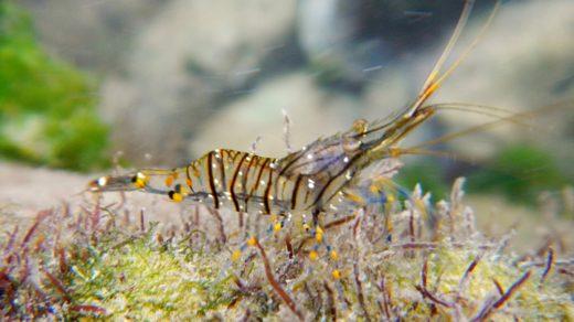 Черноморская креветка палемон элегантный с голубыми и жёлтыми полосками на лапках