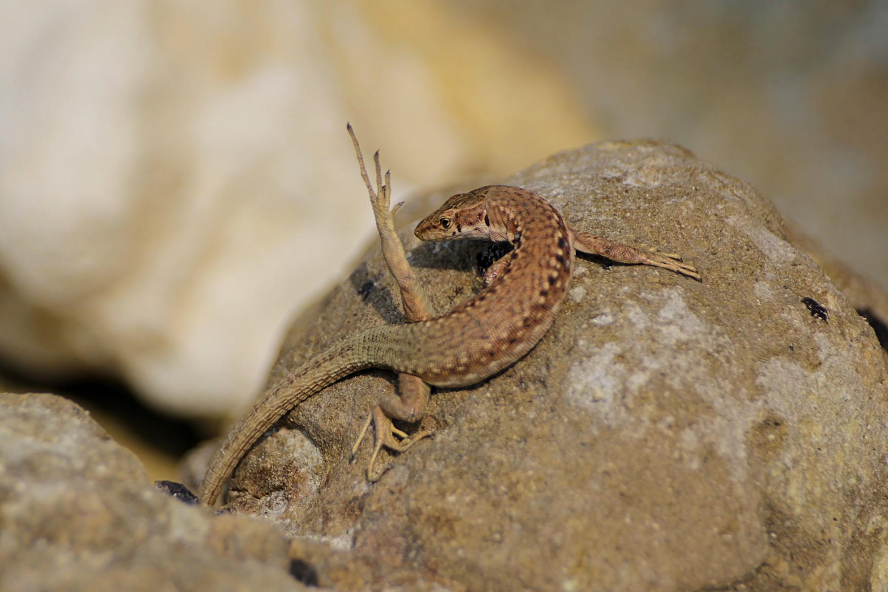 Ящерица Линдхольма (лат. Darevskia lindholmi), самка