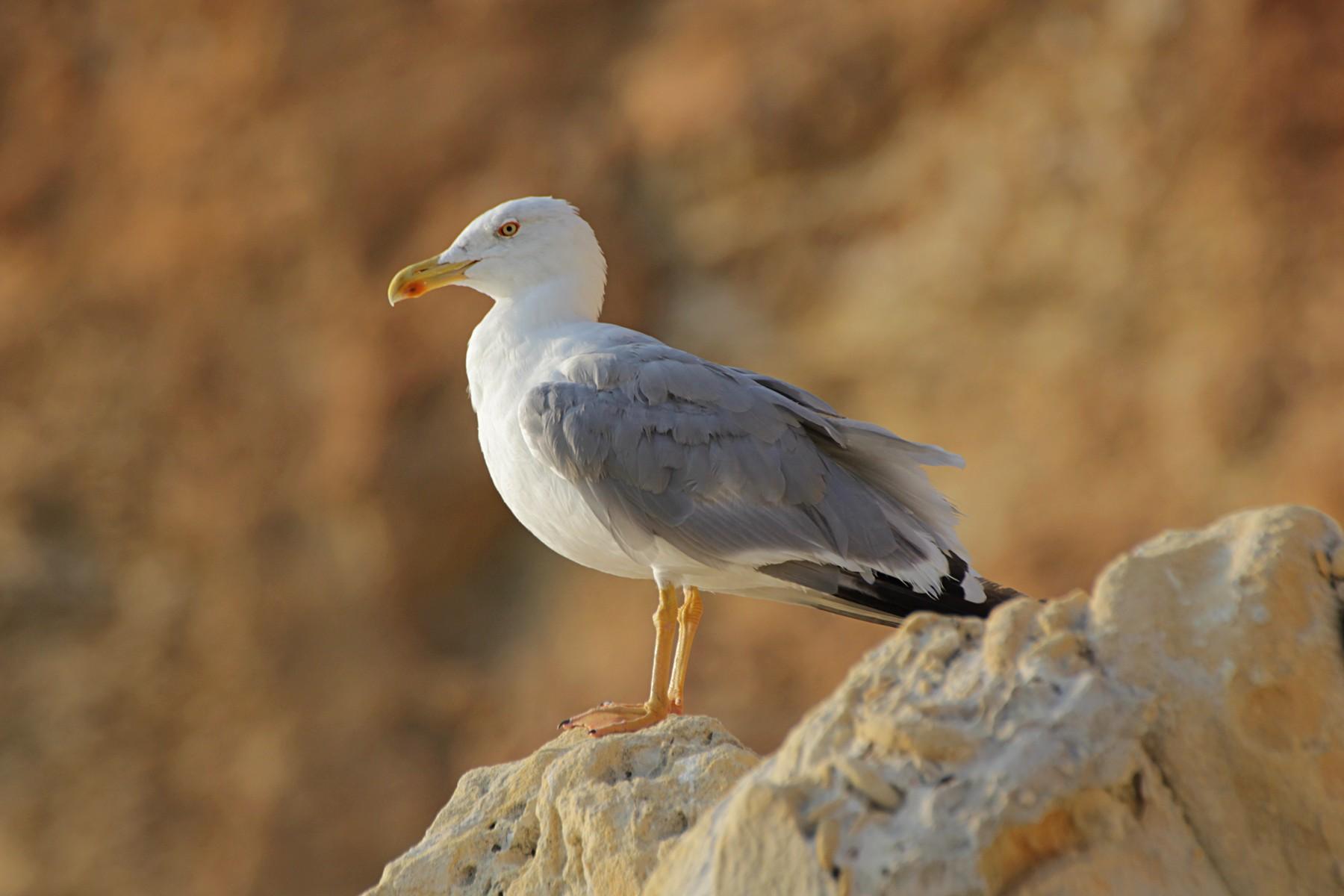 Средиземноморская чайка (Larus michahellis)