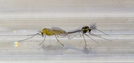 копуляция у комаров. самец комара с усами и комариная самка