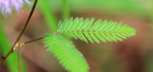 листочки мимозы стыдливой (лат. Mimosa pudica)